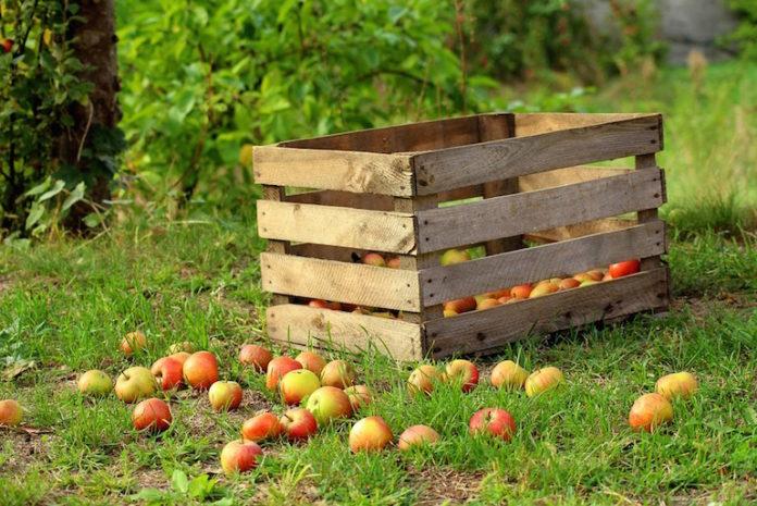 cassetta di mele durante la raccolta