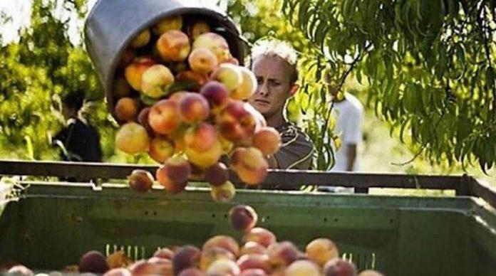 raccolta della frutta