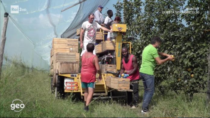 La raccolta di pere nashi nell'azienda Trybeca di Centallo