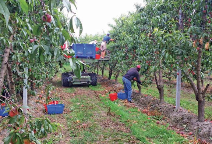 Braccianti raccolta frutta