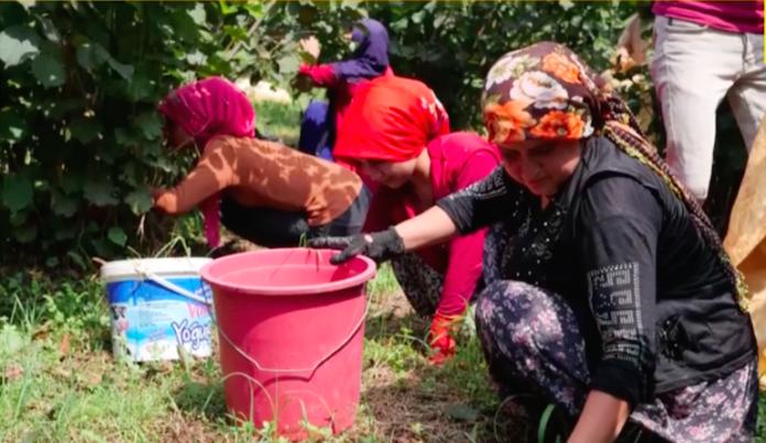 raccoglitrici nocciole in turchia
